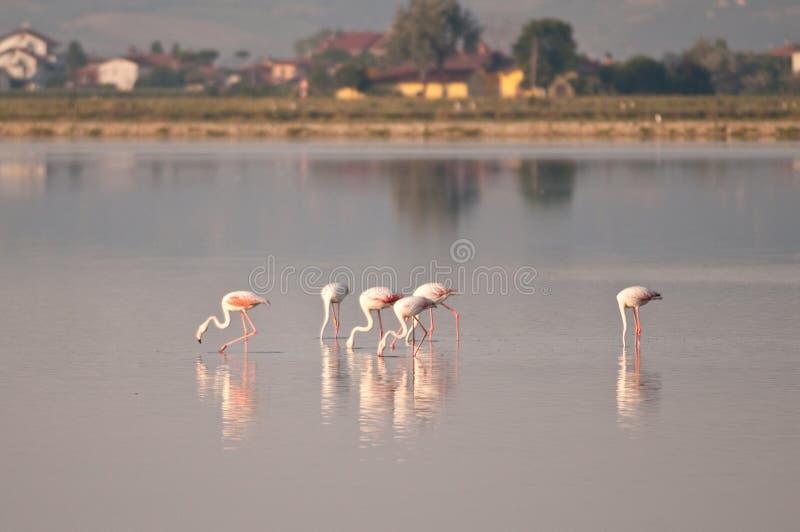 Flamingos no saltworks do cervia fotos de stock royalty free