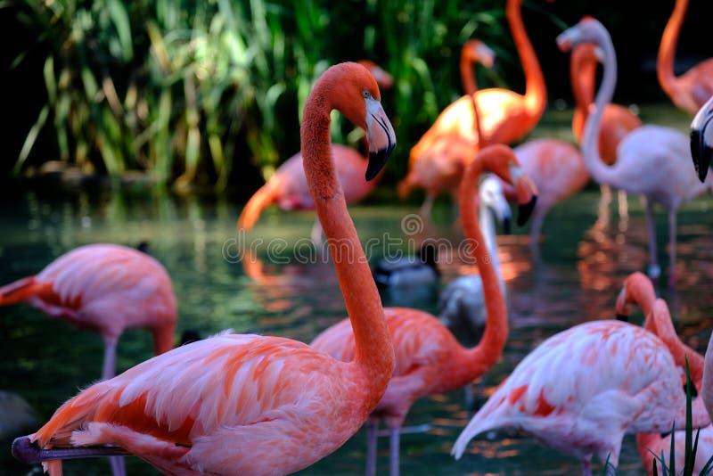 Flamingos no selvagem imagens de stock royalty free