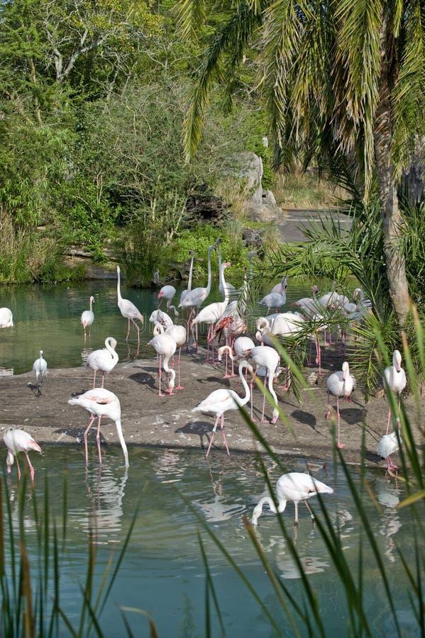 Download Flamingos In Orlando, Florida Stock Photo - Image: 12188978