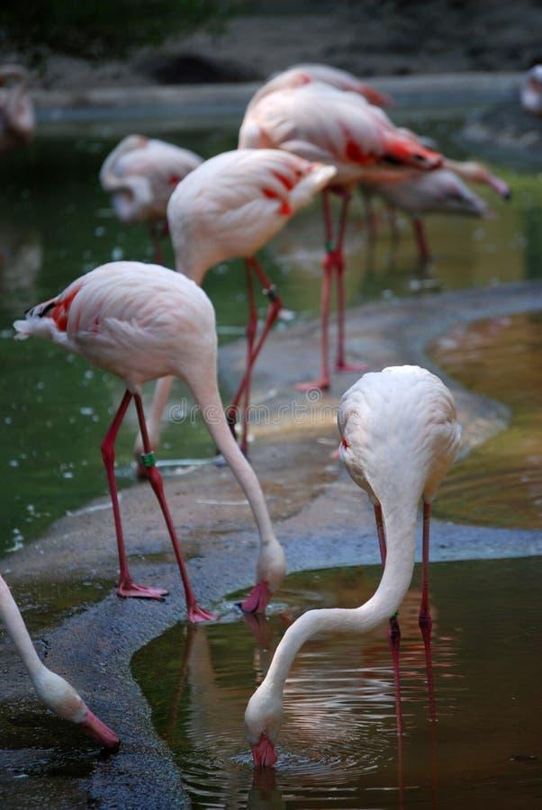Flamingos fotos de stock
