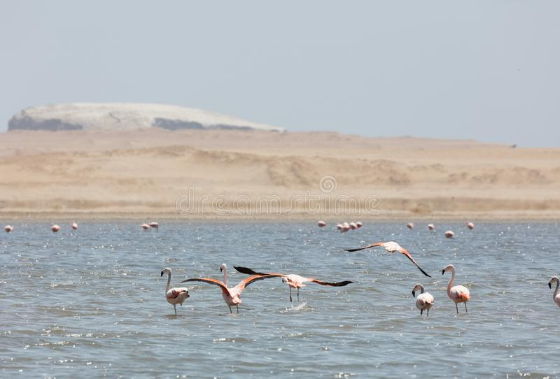Flamingos  in Paracas, Peru. Flamingos chilenos  in National reserve of Paracas, Peru america animals ballestas bay beach beauty blue cruise cruiser day desert royalty free stock photos