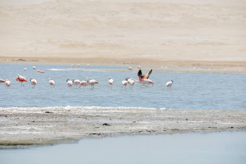 Flamingos  in Paracas, Peru. Flamingos chilenos  in National reserve of Paracas, Peru america animals ballestas bay beach beauty blue cruise cruiser day desert stock photos