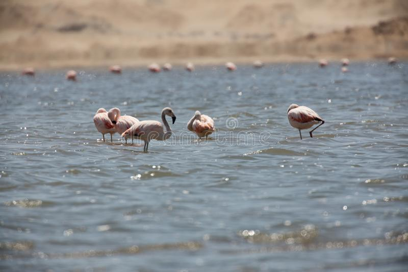 Flamingos  in Paracas, Peru. Flamingos chilenos  in National reserve of Paracas, Peru america animals ballestas bay beach beauty blue cruise cruiser day desert royalty free stock photography