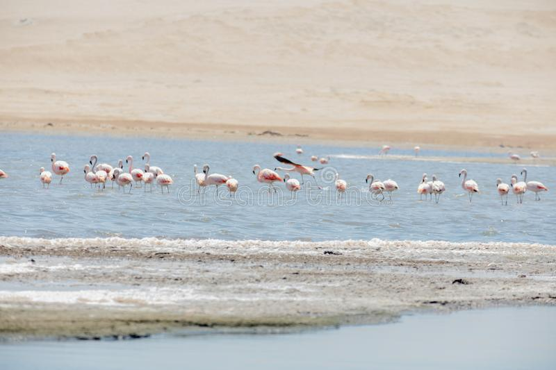 Flamingos  in Paracas, Peru. Flamingos chilenos  in National reserve of Paracas, Peru, america, animals, ballestas, bay, beach, beauty, blue, cruise, cruiser royalty free stock photo