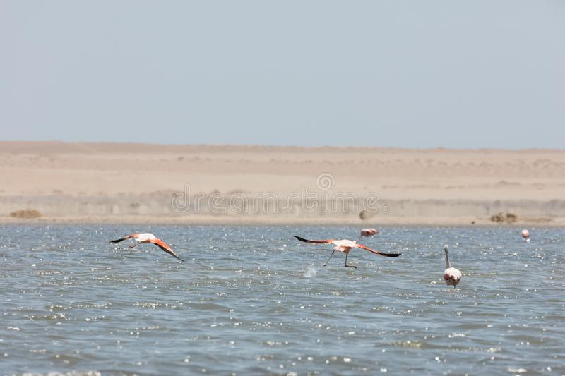 Flamingos  in Paracas, Peru. Flamingos chilenos  in National reserve of Paracas, Peru, america, animals, ballestas, bay, beach, beauty, blue, cruise, cruiser stock image