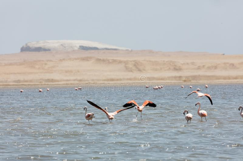 Flamingos  in Paracas, Peru. Flamingos chilenos  in National reserve of Paracas, Peru, america, animals, ballestas, bay, beach, beauty, blue, cruise, cruiser royalty free stock image
