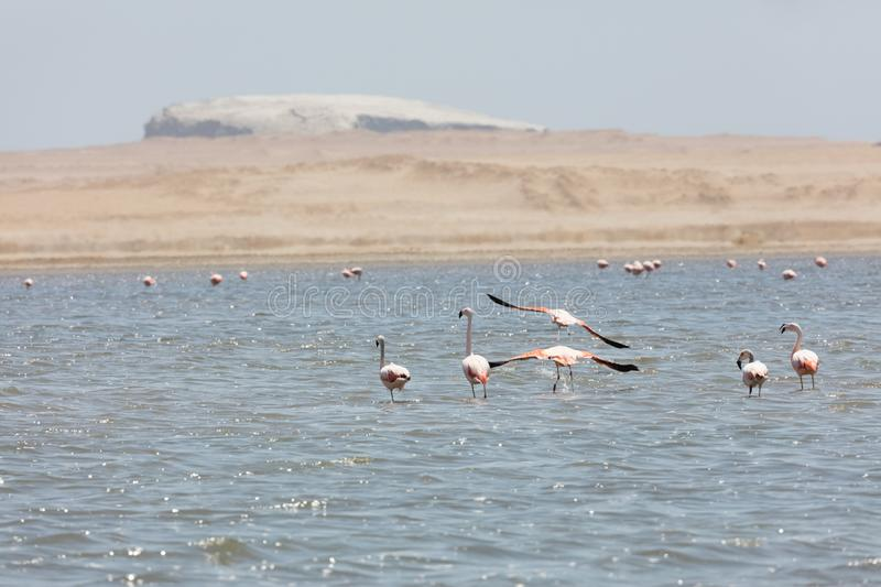 Flamingos  in Paracas, Peru. Flamingos chilenos  in National reserve of Paracas, Peru, america, animals, ballestas, bay, beach, beauty, blue, cruise, cruiser royalty free stock images