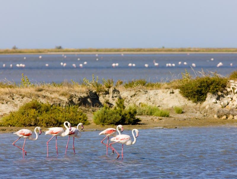 Flamingos, Parc Regional de Camargue, Provence, Frankreich stockfotos