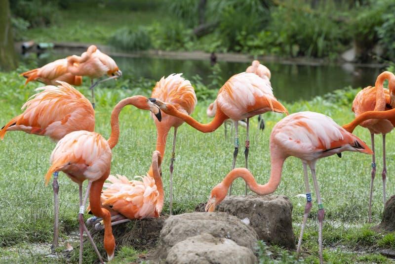 Flamingos, phoenicopter, pretty flamingos, quarreling stock photo