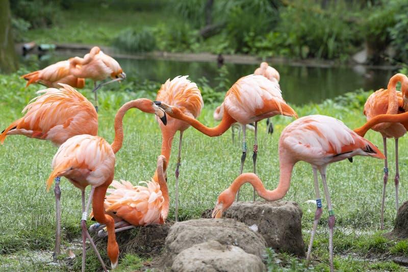 Flamingos, phoenicopter, pretty flamingos, quarreling royalty free stock photography