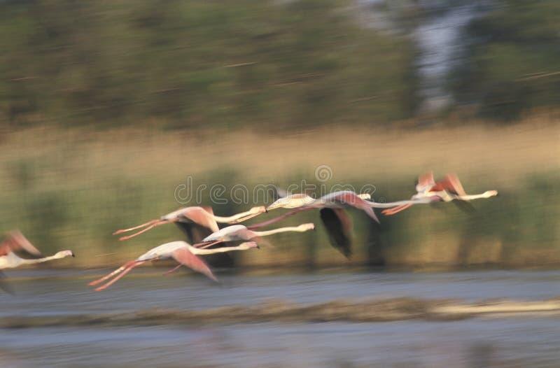 Flamingos, Phoenicopterus-ruber, entfernend Das Camargu lizenzfreie stockfotos