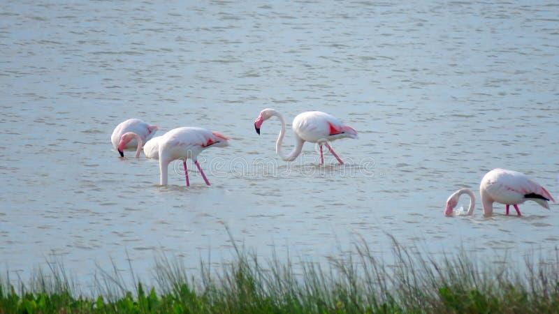 Flamingos in PO-Delta, Italien lizenzfreies stockbild