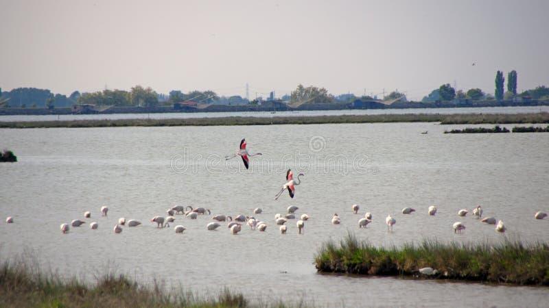 Flamingos in PO-Delta, Italien stockbild