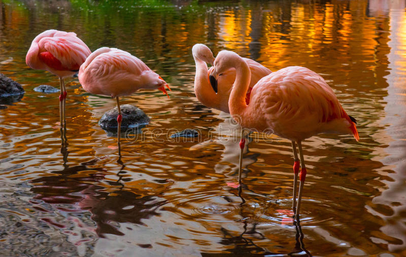 Flamingos with setting sun. The water seems to turn to gold with the setting sun. The cranes are settling in for the night in this shallow pond. The water drips royalty free stock image