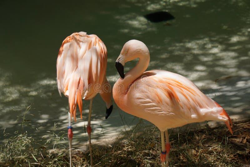 Flamingos prisioneiros imagem de stock