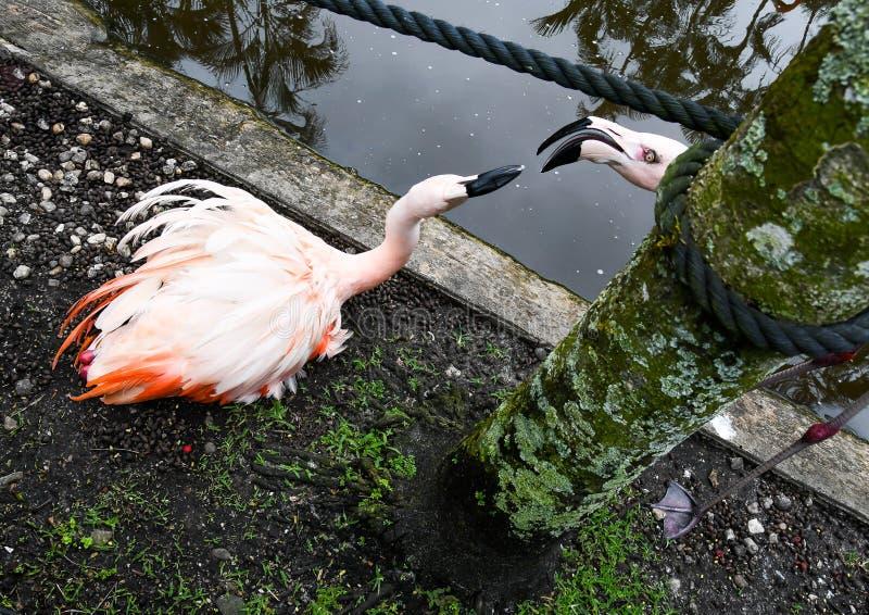 Flamingos que esticam para beijar foto de stock royalty free