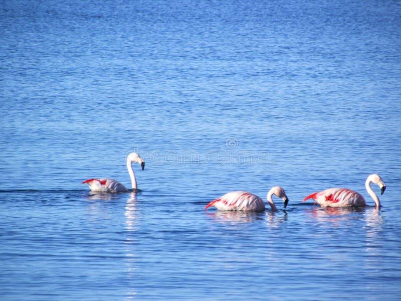 Flamingos que navegam no mar azul - Puerto Madryn/Argentina foto de stock royalty free