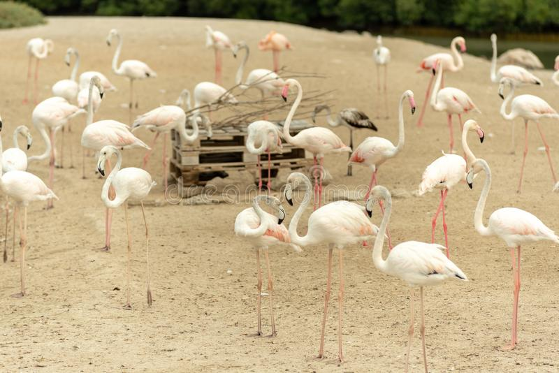 Flamingos in Ras Al Khor Wildlife Sanctuary, Ramsar-Standort, Flamingo hide2, Dubai, Arabische Emirate stockfotografie