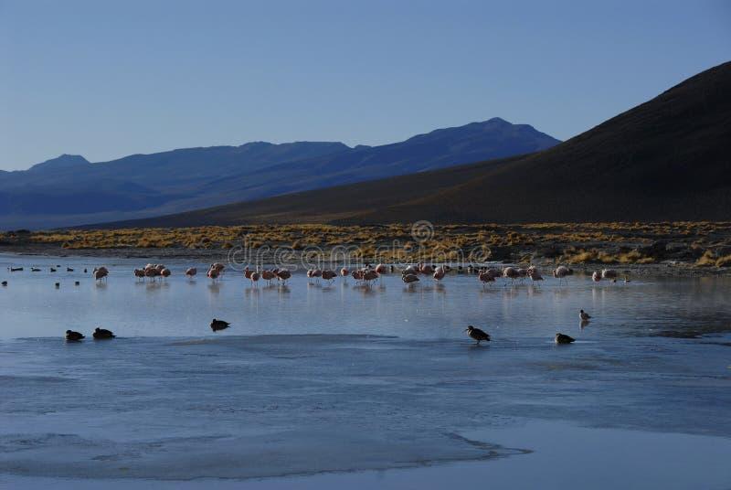 Flamingos in Salar de Chalviri. Flamingos at Salar de Chalviri, near Termas de Polques, Bolivia royalty free stock photo