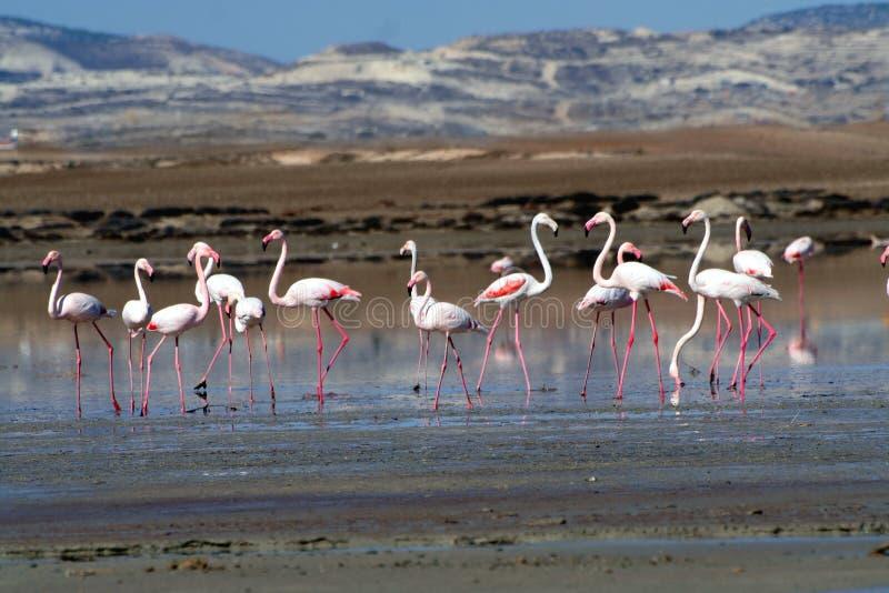 Flamingos at a salt lake royalty free stock images