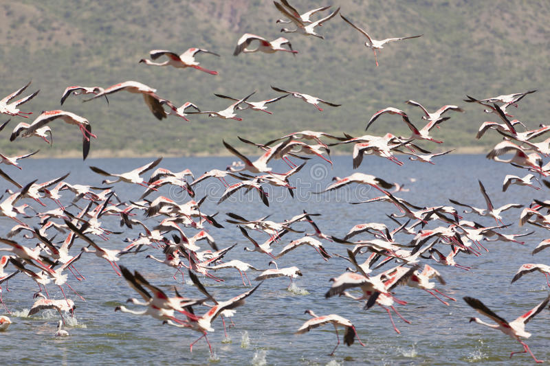 Flamingos am See Bogoria, Kenia stockbild