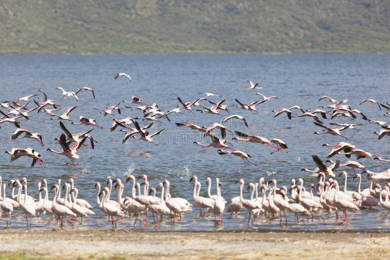 Flamingos am See Bogoria, Kenia stockbilder