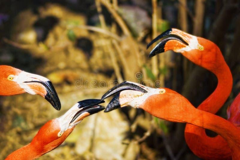 Flamingos Socialvögel stockfoto