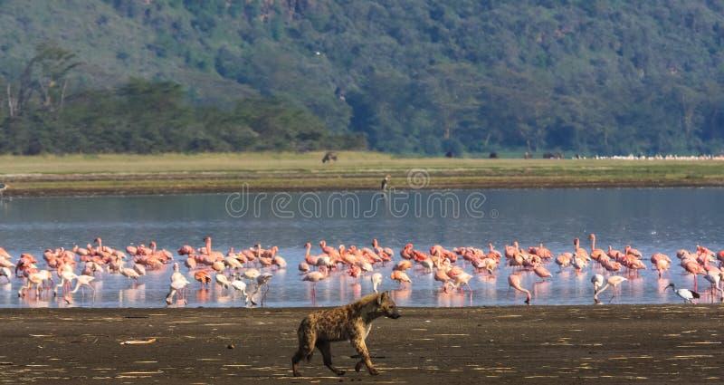 flamingos som jagar hyenaen Nakuru sjö fotografering för bildbyråer