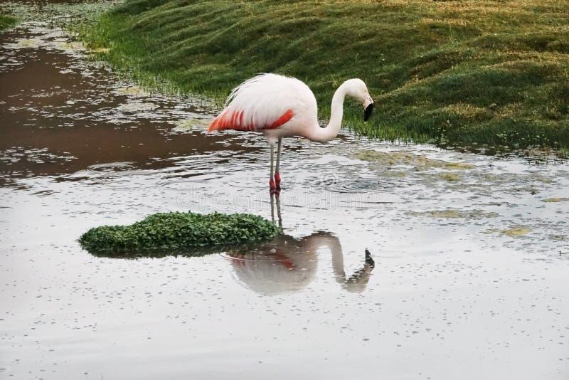 Flamingos?song i Uyuni, Bolivia royaltyfri fotografi