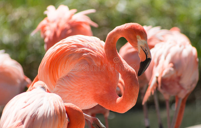 Flamingos. On a sunny day stock photography
