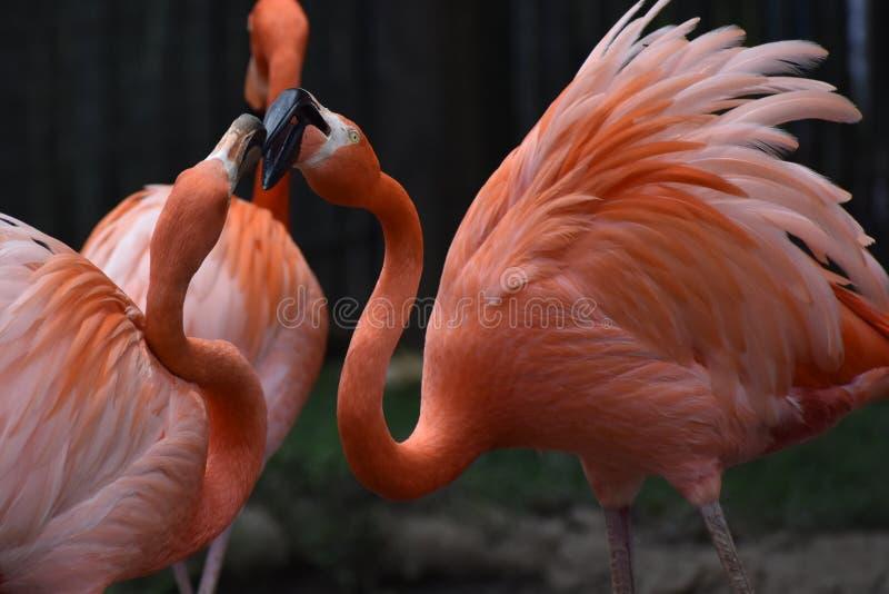 Flamingos at Tulsa Oklahoma Zoo. Flamingos at Tulsa Zoo stock photo