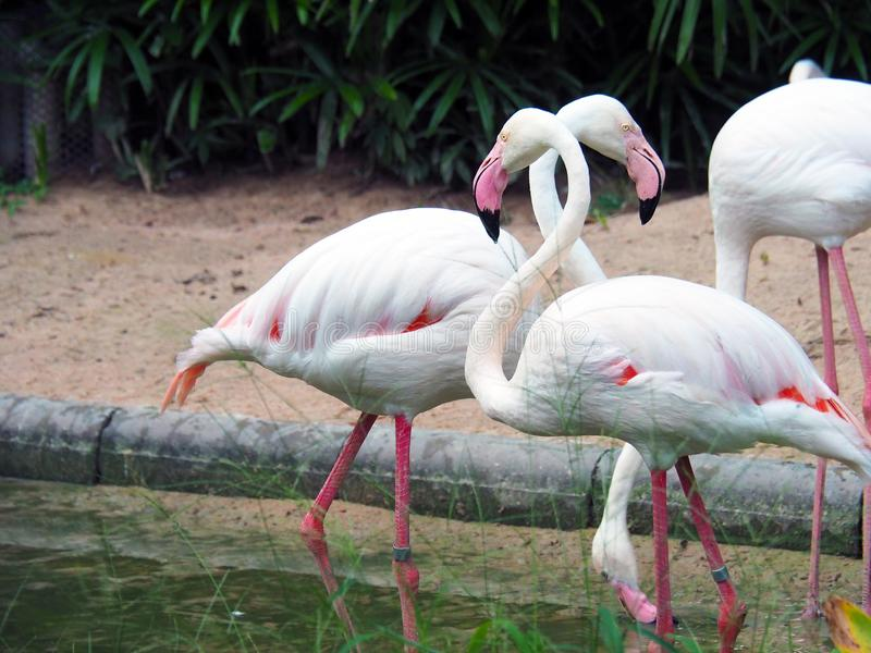 Flamingos walking outdoor in the zoo. royalty free stock image