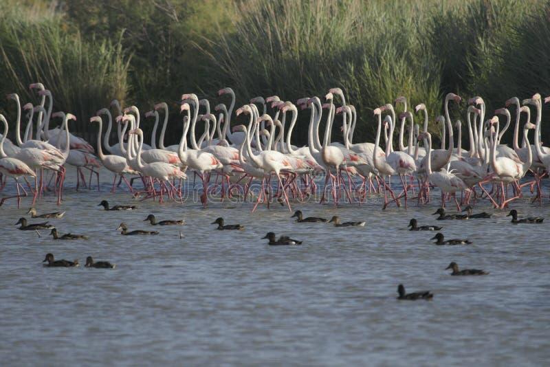 Download Flamingos walking stock photo. Image of bird, duck, anas - 32145178