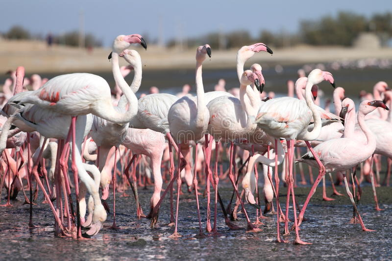 Flamingos. At Walvis Bay sifting for food in the sea royalty free stock photography