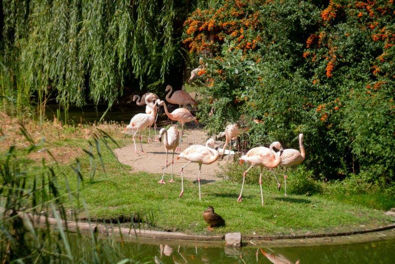 Flamingos at the Warsaw Zoo royalty free stock images