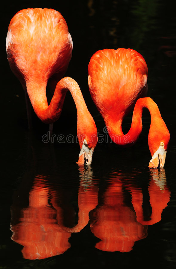 Flamingos in water. Two flamingos eating together, standing in a pond royalty free stock photos