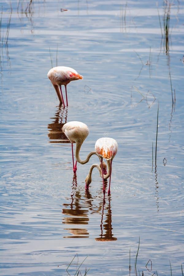 Flamingos in the water. In search of crustaceans. Nakuru, Kenya. Africa royalty free stock photos