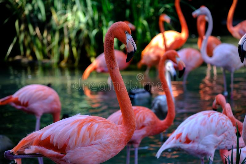 Flamingos in the wild royalty free stock images