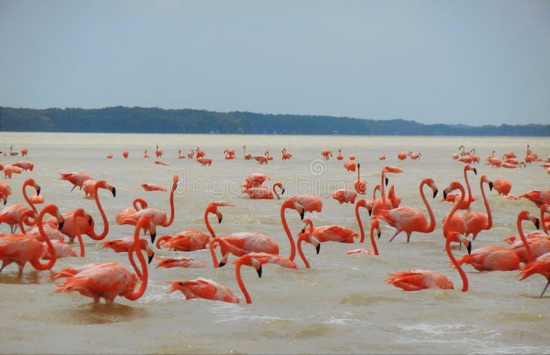 Flamingos in Yucatan stock photo