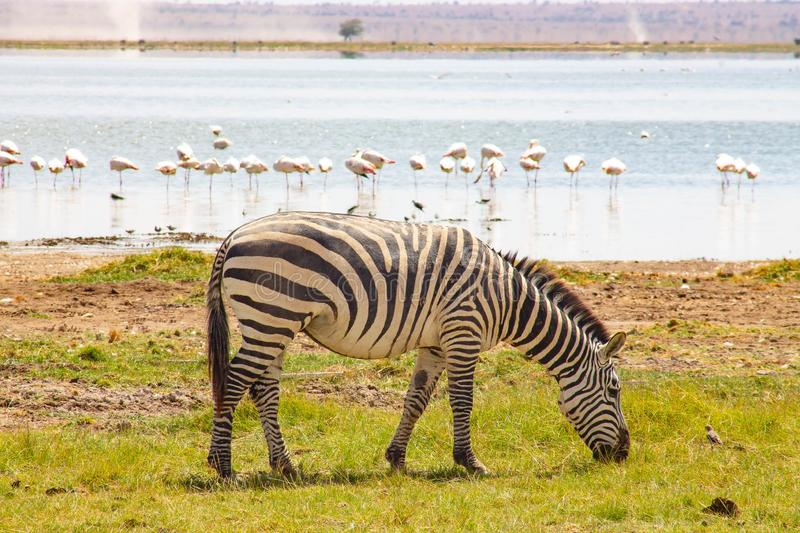 Flamingos and Zebra spotted in Lake Amboseli royalty free stock image