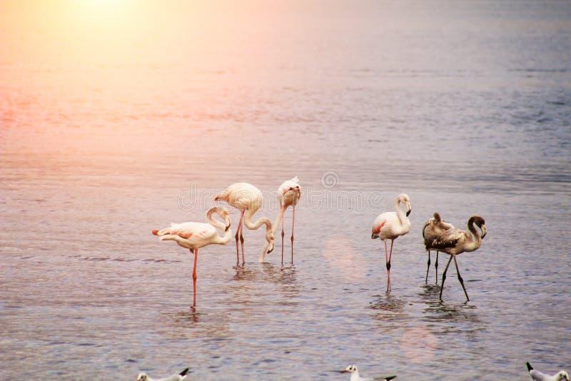 Flamingos ziehen bei Sonnenuntergang ein stockbilder
