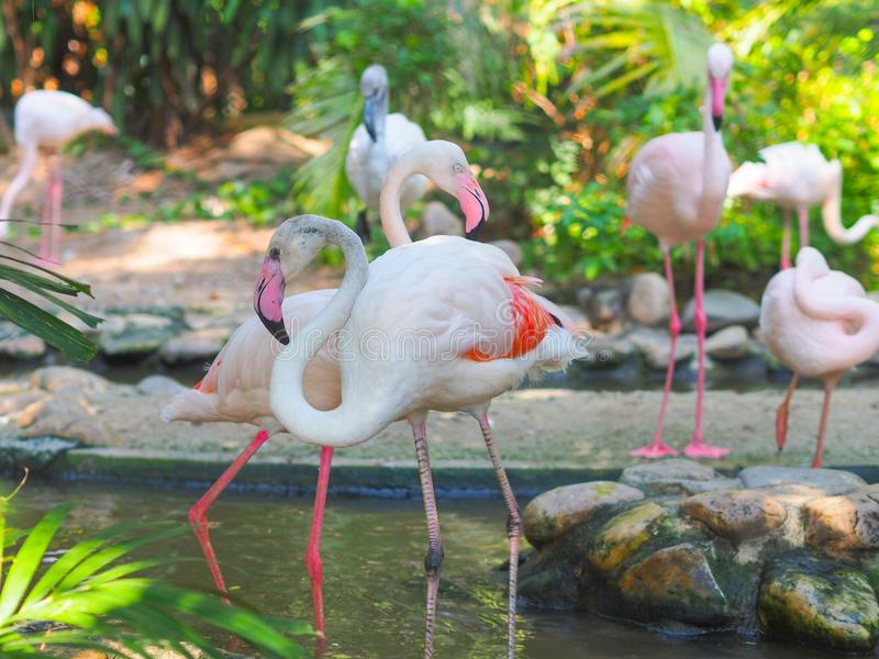 Flamingos in the zoo. stock photos
