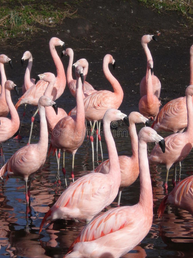 flamingos02 obrazy stock