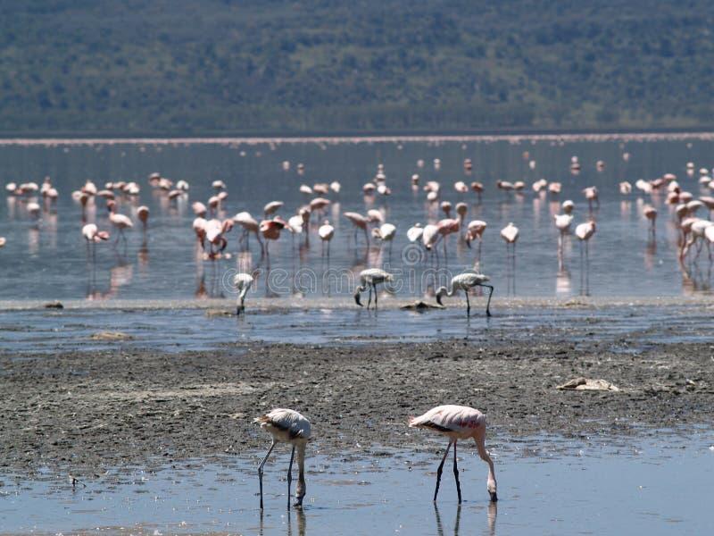Flamingos1 foto de archivo libre de regalías