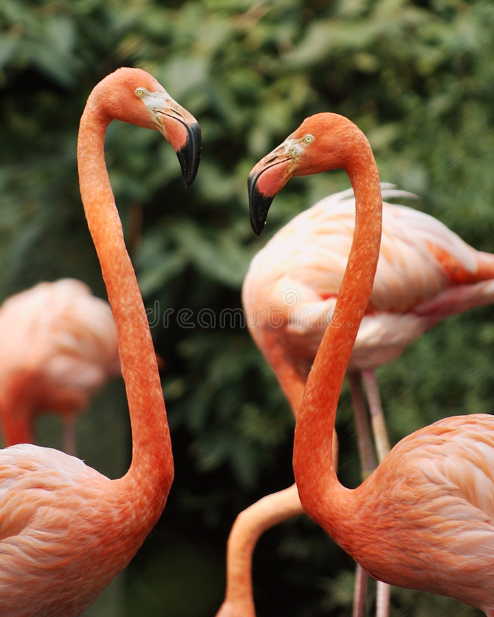 Flamingosförälskelse Fotografering för Bildbyråer