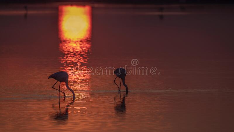 Flamingosfoder under solnedgång arkivfoto