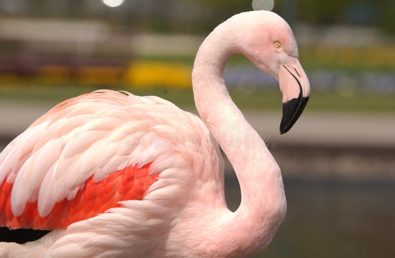 Flamingoskönhet arkivbild