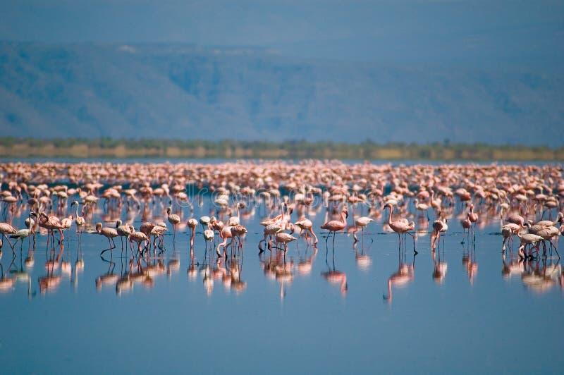 flamingoslakenatron arkivbild