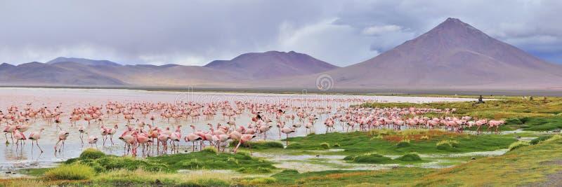 flamingospanorama royaltyfria bilder