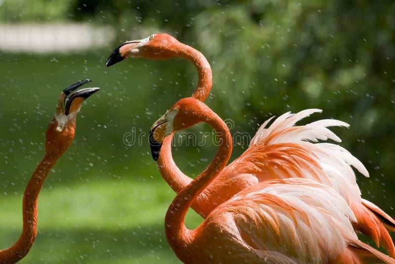 flamingostående royaltyfri foto